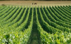 New wine abounds in the Garden of England