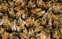 Who owns the bees? An expert lawyer enters the honeytrap