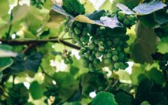 Jonathan Ray: Why a good Riesling is hard to beat
